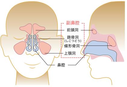 副鼻腔の解説イラスト